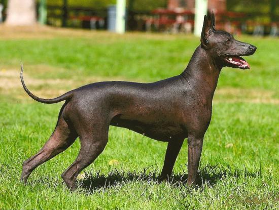 Tüysüz Meksika Köpeği (Xoloitzcuintli)