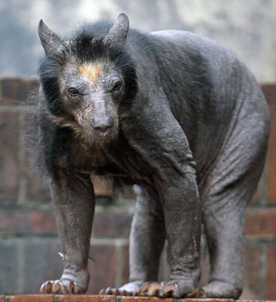 Kuran yırtmış tüysüz ayı