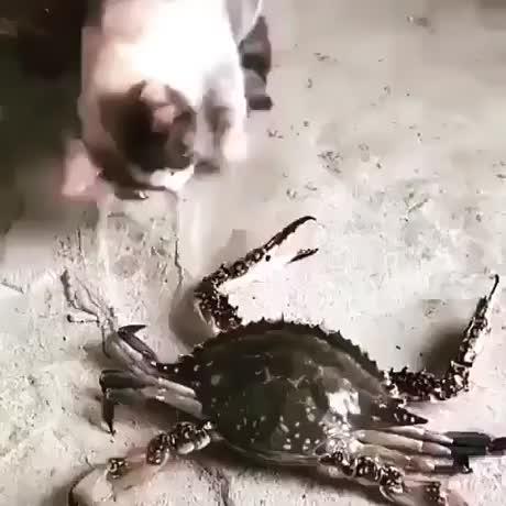 Kolunu Yengeçe kaptırınca aklını yitiren kedi