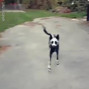 Hallowen için hazırlanmış köpek